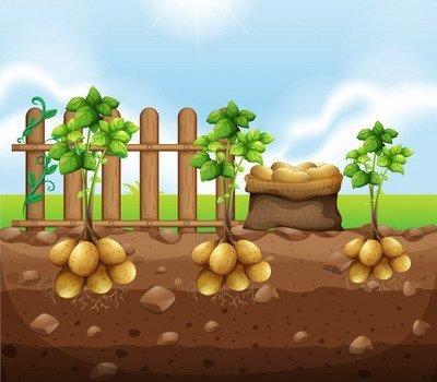 Картошка в стихах для детей, Без картошки не прожить…, В некотором царстве…, Вчера мы двум картошкам…, Из ведерка – прыг! – на грядку…, Калорийная картошка…, Мама чистила картошку…, Мне совет ваш, детки, нужен…, Не догадался ни за что…, Не оставлю я ни крошки…, Она вчера была…, У этой картошки…, Что рядками вдаль уходит…, Я картошка круглая…, Я на любом столе– любимый самый…, стихи про сад, стихи про огород, стихи про дачу, стихи про овощи, стихи про фрукты, стихи про сад для детей, стихи про огород для детей, стихи про дачу для детей, стихи про овощи для детей, стихи про фрукты для детей, детские стихи про огород, детские стихи про огородные растения, прикольные стихи про огород, прикольные стихи про грядки, стихи про овощи для детского сада, стихи про овощи для малышей, стихи про овощи для дошколят, стихи про огород для младшей школы, стихи про огород для младшей школы, стихи про урожай, детские стихи на праздник урожая, веселые стихи на праздник урожая, стихи про овощи на Праздник урожая, стихи про огород на Праздник урожая,